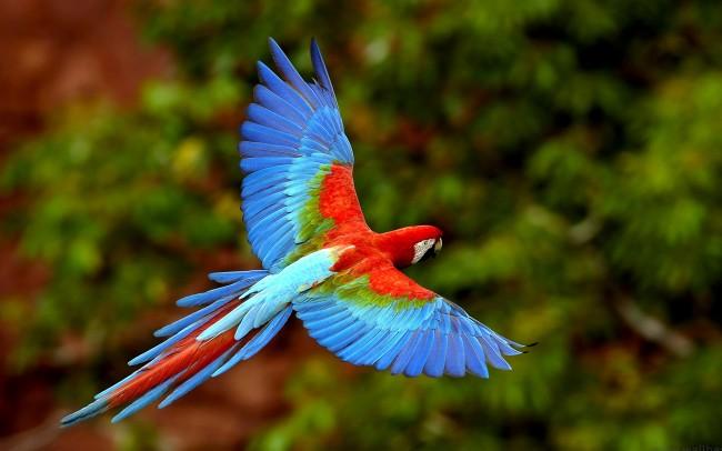 Arara Vermelha em vôo no Mato Grosso do Sul, Brasil (Red Macaw